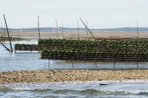 """Dessous les algues, le captage à eu lieu, des """"bébés"""" huîtres vont grandir"""